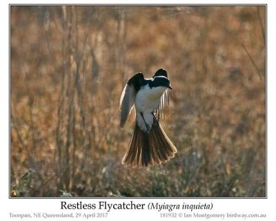 Restless Flycatcher (Myiagra inquieta) by Ian
