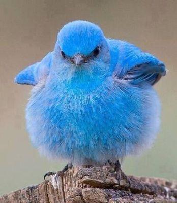 Mountain Bluebird (Sialia currucoides) ©Smediacache