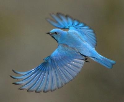 Mountain Bluebird (Sialia currucoides) In Flight ©Smediacache