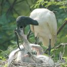 Black-headed Ibis (Threskiornis melanocephalus) Feedingby Nikhil Devasar