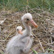Eurasian Spoonbill (Platalea leucorodia) Chick in Nest ©WikiC