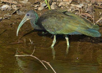Green Ibis (Mesembrinibis cayennensis) ©WikiC