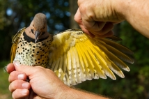 Northern Flicker (Colaptes auratus) yellow shafted ©Amazonaws