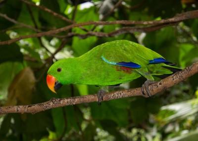 Eclectus Parrot (Eclectus roratus) Female ©Flickr Brian Gratwicke