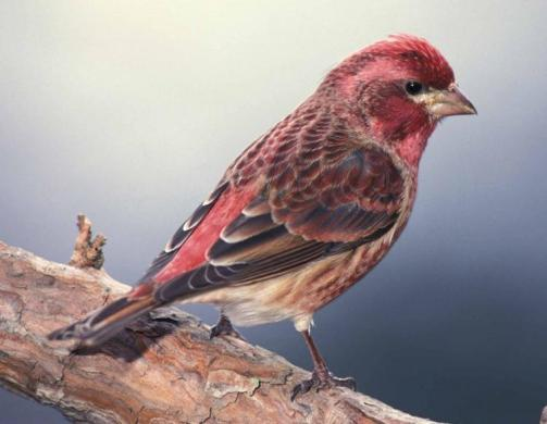 PurpleFinch-male.photo-MoDeptConservation