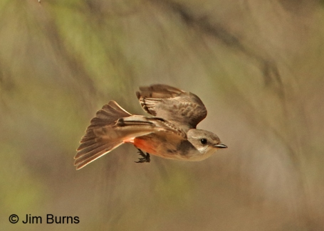 Vermilion-Flycatcher-female-flying.JimBurns