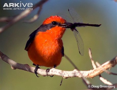 Vermilion-Flycatcher-male-with-dragonfly-prey.DougGreenberg-Arkive-photo
