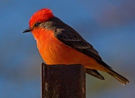 Vermillion-Flycatcher-on-post.LoisManowitz