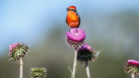 Vermillion-Flycatcher-on-thistle.Links-of-Utopia