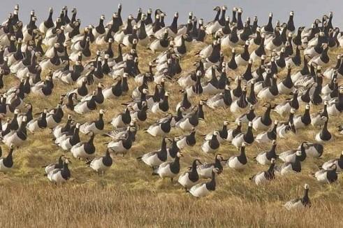 BarnacleGoose-flock-Islay.BirdGuides