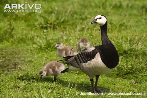 BarnacleGoose-with-goslings.JoeBlossom-Arkive
