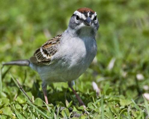 Chipping-Sparrow.AudubonSociety