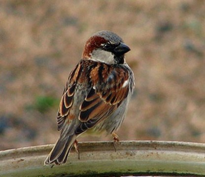 English-Sparrow.AllAboutBirds