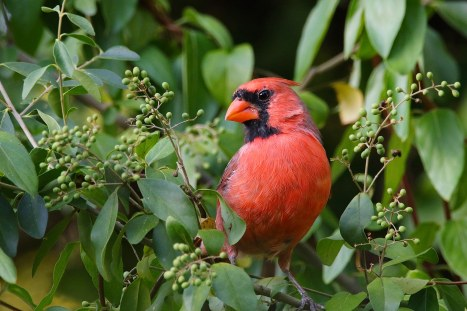 Northern-Cardinal.MotherNatureNetwork