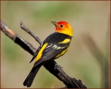 Western-Tanager.WildBirdsUnlimited