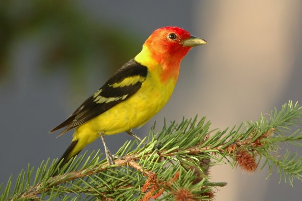 WesternTanager-on-evergreen-branch