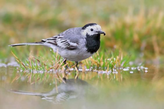 WhiteWagtail-InternetBirdCollection-IvanSjogren