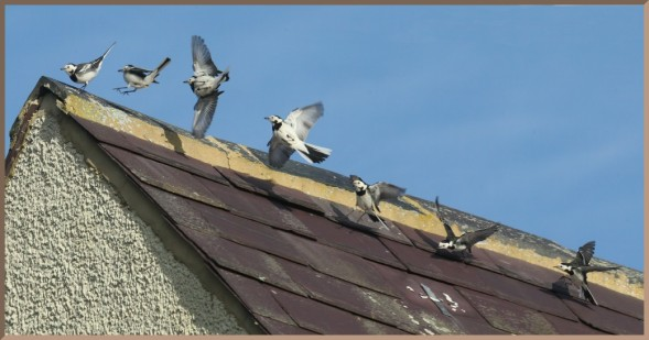 WhiteWagtail-rooftop-hunting.Moorhen-montage-photoblend