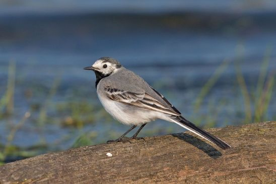 WhiteWagtail-youngfemale.AndreasTrepte