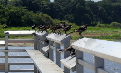 Grackles Ready to Depart at Brinson Park Pier by Lee