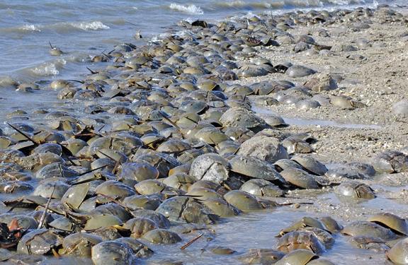 HorseshoeCrabs-DelawareBay-beach.GregoryBreese-USFWS