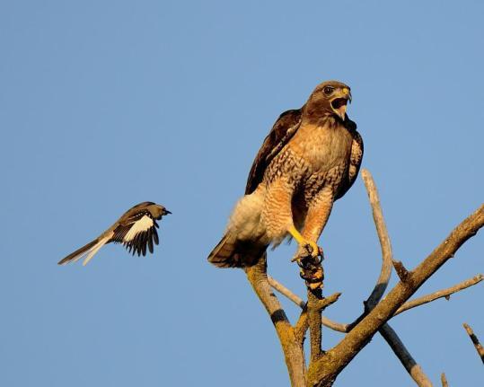 Mockingbird-attacks-RedTailedHawk-flickr.com-photo