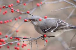 Mockingbirds:  Versatile Voices in Plain Plumage