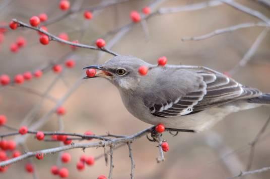 Mockingbird-eating-winterberries.JonesNaturePreserve