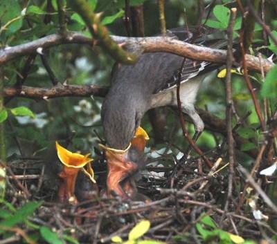 Mockingbird Feeding Young ©Americanfacts