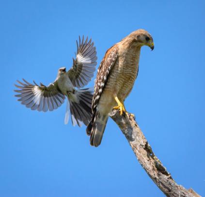 Mockingbird-harasses-RedShoulderedHawk-Floridaform.AllCreationSings