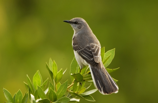 Mockingbird.RyanHagerty-USFWS