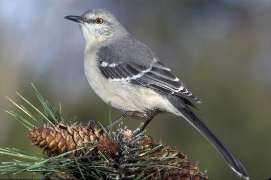 NorthernMockingbird-atop-pine.JimWedge-Audubon