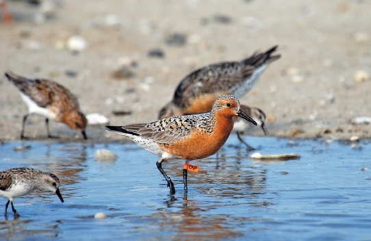 RedKnot-DelawareBay-beach.GregoryBreese-USFWS