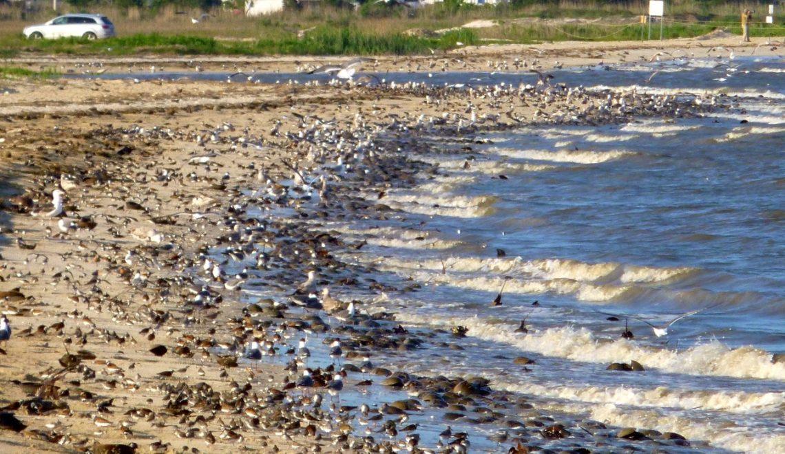 Shorebirds-HorseshoeCrabs-DelawareBay.LarryNiles
