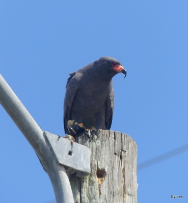 Snail Kite - Brinson Park Pier - St Cloud by Lee - 8/8/17