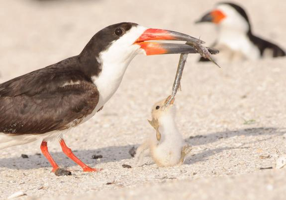 BlackSkimmer-feeding-youngJimGray-Audubon