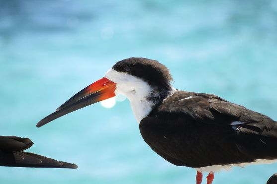 BlackSkimmer-Florida-migrant.Wikipedia