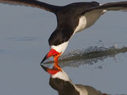 Happy Memories, Accented by Black Skimmers at Madeira Beach