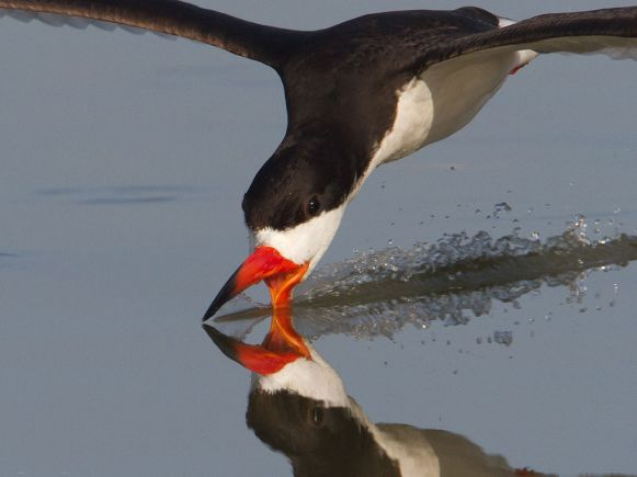 BlackSkimmer-in-Texas.DanPancamo