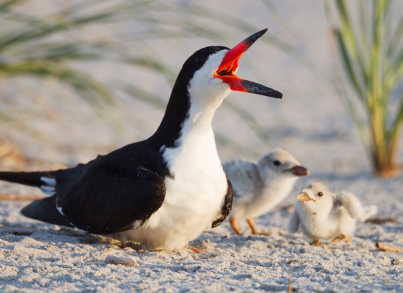 BlackSkimmer-with-young.MichaelStubblefield.jpg