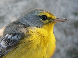 What Is The Fate of the Barbuda Warbler?