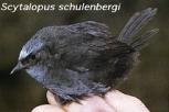 Diademed Tapaculo (Scytalopus schulenbergi) ©Pinterest