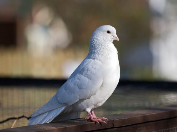 White-Dove.Journal-of-Consumer-Research