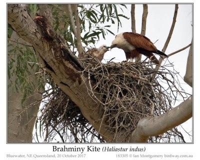 Brahminy Kite (Haliastur indus) by Ian