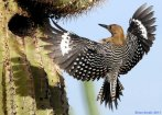 GilaWoodpecker-by-Saguaro.BrianSmall