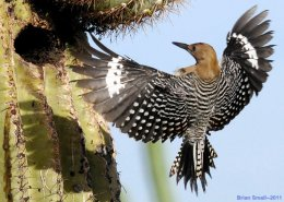 Gila Woodpeckers and Saguaro Cactus, IllustratingNeighborliness