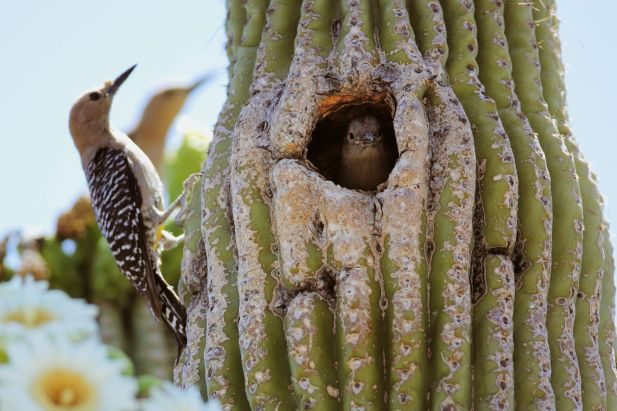 GilaWoodpecker-SaguaroCactus.NorthMountainVisitorCenter