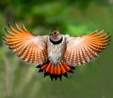 NORTHERN FLICKER (red-shafted form) photo credit: Evergreen State College