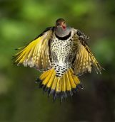 NORTHERN FLICKER (yellow-shafted form) photo credit: BioQuick News