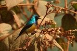 Variable Sunbird (Cinnyris venustus) by TomTarrant